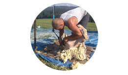 Shearing Sheep